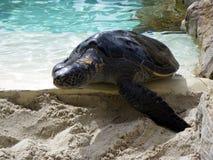 Denni żółwie Obrazy Royalty Free