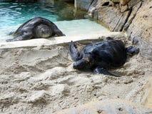 Denni żółwie Zdjęcie Stock