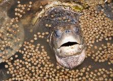 Denni żółwie Zdjęcie Royalty Free