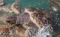 Denni żółwie Obraz Royalty Free