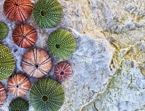 Denni czesacy i seashells na bielu moczą skałę Obraz Stock