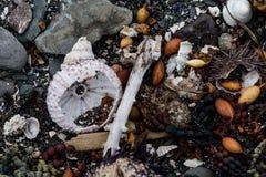 Denni czesacy, skorupy i gałęzatka na brzeg, Zdjęcie Royalty Free