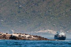 Denni foka morskiego ssaka parki i rezerwy południowy Africa zdjęcia stock