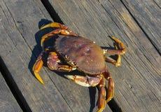 Denni kraby na brzeg ocean spokojny, Wrzesień 2015 vancouver zdjęcia stock