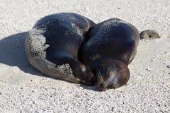 Denni lwy cieszy się niektóre beachtime, Galapagos Obrazy Royalty Free
