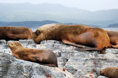 Denni lwy kłama na skale z dużą samiec, zatoka Ushuaia, Argentyna obraz royalty free
