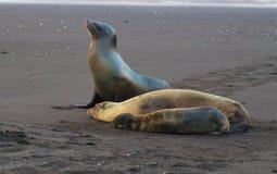 Denni lwy na Galapagos wyspach zdjęcie stock