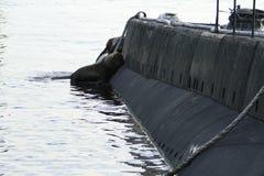 Denni lwy na łodzi podwodnej Fotografia Stock