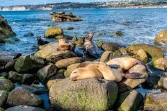 Denni lwy na Pacyficznego oceanu linii brzegowej w Kalifornia obrazy royalty free