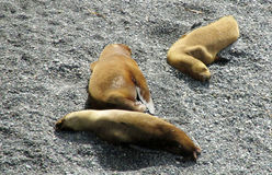Denni lwy na plaży Zdjęcia Royalty Free