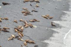 Denni lwy na plaży Obrazy Royalty Free