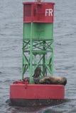 Denni lwy śpi na boja w oceanie Zdjęcia Royalty Free