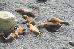 Denni lwy relaksuje na drylują plażę Obraz Stock