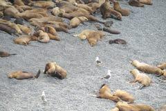 Denni lwy relaksuje na drylują plażę Fotografia Royalty Free