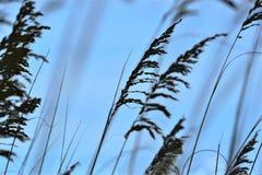 Denni owsy tworzą ochronną przesłonę wokoło piaskowatej Północnej Floryda plaży obrazy royalty free