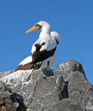 Denni ptaki Galapagos Zdjęcia Royalty Free