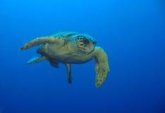 denny żółw Fotografia Stock