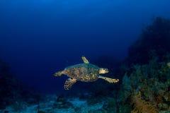 denny żółw obraz royalty free