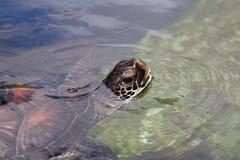 denny żółw Zdjęcia Stock