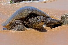 denny żółw Obrazy Stock