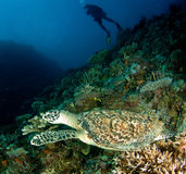 Denny żółw, Fiji zdjęcia stock