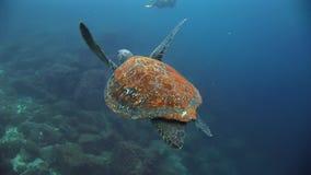 Denny żółw na czysty jasny wodny podwodnym w Galapagos zbiory wideo