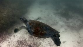 Denny żółw na czysty jasny wodny podwodnym w Galapagos zdjęcie wideo