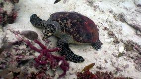 Denny żółw na czystym jasnym podwodnym dnie morskim je koral w Maldives zdjęcie wideo