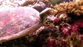 Denny żółw na czystym jasnym podwodnym dnie morskim je koral w Maldives zbiory