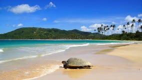 Denny żółw na Nacpan plaży. El Nido Fotografia Stock