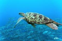 Denny żółw na rafie koralowa fotografia stock