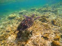 Denny żółw na seabottom Snorkeling z tortoise Dziki zielony żółw w tropikalnej lagunie Obraz Stock