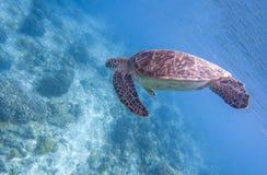 Denny żółw nurkuje błękitne wody Snorkeling z tortoise Dziki zielony żółw w tropikalnej lagunie Zdjęcie Royalty Free