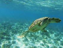 Denny żółw nurkuje denny dno Tropikalnego seashore podwodna fotografia Zdjęcia Royalty Free