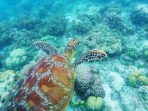 Denny żółw pływa nad korale na seabottom Biała koralowa rafa koralowa i piasek Obrazy Stock