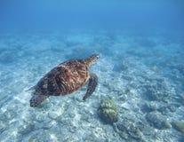 Denny żółw pływa podwodnego Snorkeling z tortoise Dziki zielony żółw w tropikalnej lagunie Zdjęcie Royalty Free