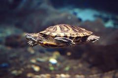 Denny żółw przy głębią w dennej błękitne wody Denny żółw pływa dno głęboki morze Obraz Stock