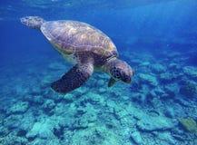 Denny żółw w błękitne wody, dennego żółwia pikowania obrazek, wakacje letni w tropikalnym morzu Fotografia Stock