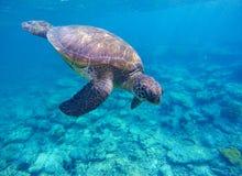 Denny żółw w głębokiej błękitne wody Obraz Royalty Free