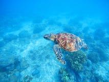 Denny żółw w płytkiej wodzie Denny dno z piaskiem i roślinami Fotografia Royalty Free