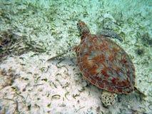 Denny żółw w Podpalanych wyspach Belize zdjęcie royalty free
