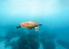 Denny żółw w turkusowej błękitne wody Dziki zielony żółw w tropikalnej lagunie Obrazy Royalty Free