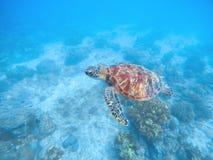 Denny żółw w wodzie Denny dno z piaskiem i roślinami Tropikalny seashore z rzadkimi morskimi gatunkami Obrazy Stock