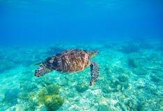 Denny żółw w wodzie Egzotyczny wyspy seashore środowisko w tropikalnej lagunie Fotografia Royalty Free