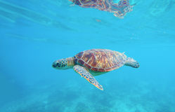 Denny żółw w wodzie Egzotyczny wyspy seashore środowisko w tropikalnej lagunie Zdjęcia Royalty Free