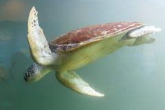 Denny żółw w zbiorniku przy akwarium w zielonym tle obrazy royalty free