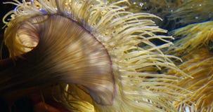 Denny anemon, zdjęcie wideo