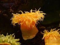 Denny anemon obrazy royalty free