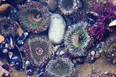 Denny anemon i czarny mięsień łuskamy przy przypływów basenami zdjęcie royalty free