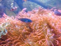 Denny anemon i ryba fotografia royalty free